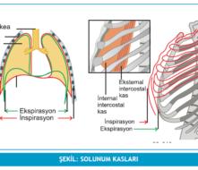 solunuma yardımcı kaslar ile ilgili görsel sonucu